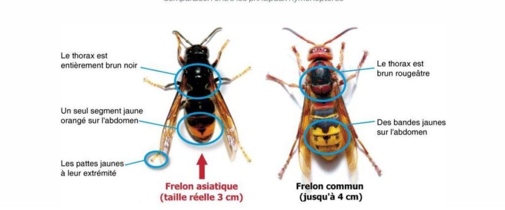 reconnaître le frelon asiatique